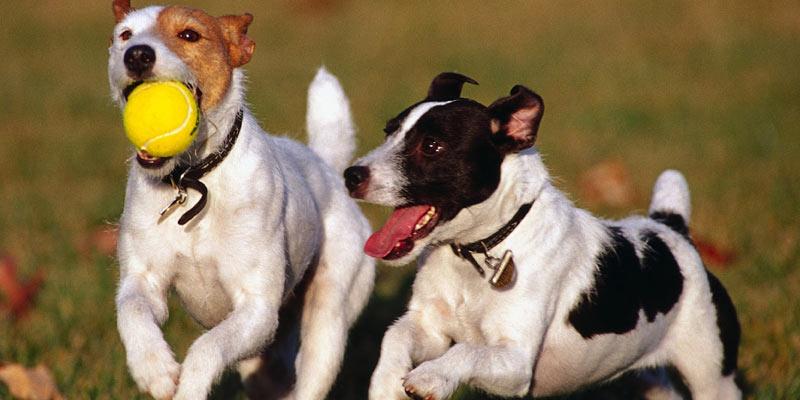 perros corriendo con pelota