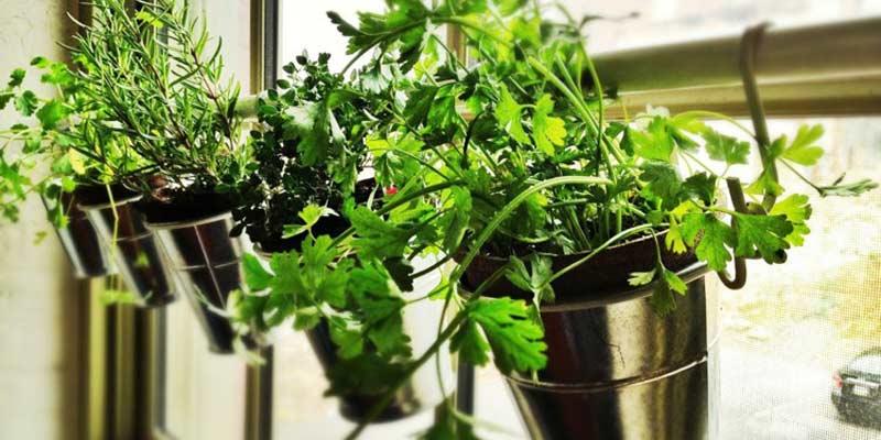 fila de huerto casero, con perejil, romero, cilantro